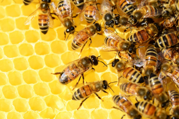BEE REARING OR APICULTURE